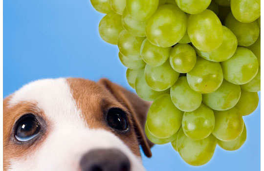 What--your--dog--should--not-eat-grapes