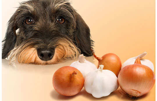 What--your--dog--should--not--eat-onion