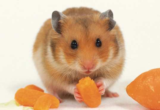 Cute-Brown-Hamster