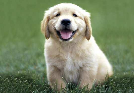 Golden-Retriever-dog