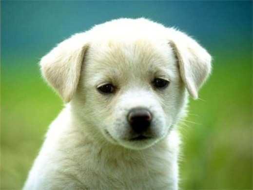 labrador-dog1