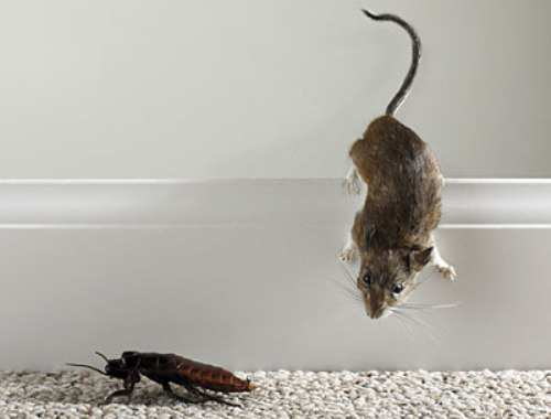 mice-and-cockroach