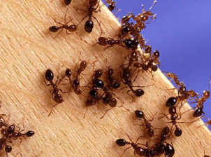 Home-Remedies-for-Killing-Ants