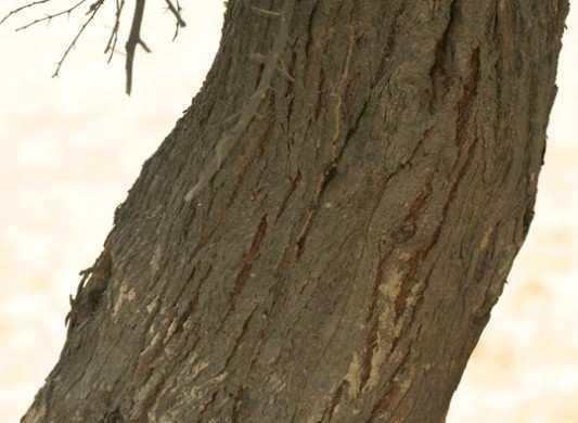 Bark-of-the-Babul-Tree