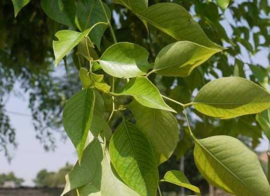 Sheesham-Tree