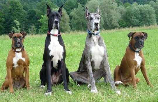 biggest-dogs-4