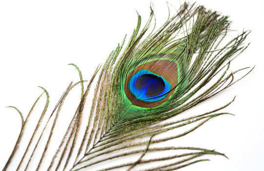 lizards-home-remedies-peacock-feather
