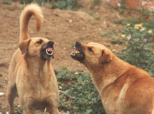 How To Train A Territorial Aggressive Dog