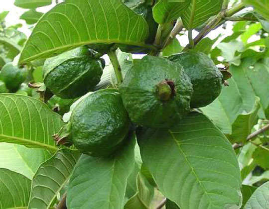 toothache-home-remedies-guava-leaves