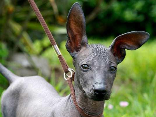 Peruvian-Hairless-Dog-4