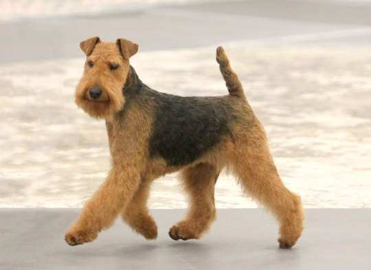 Welsh-Terrier-Puppy