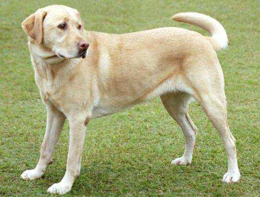 Yellow-Labrador