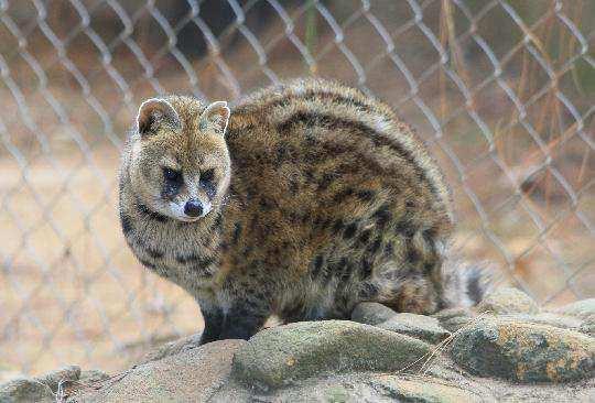 civet-cat