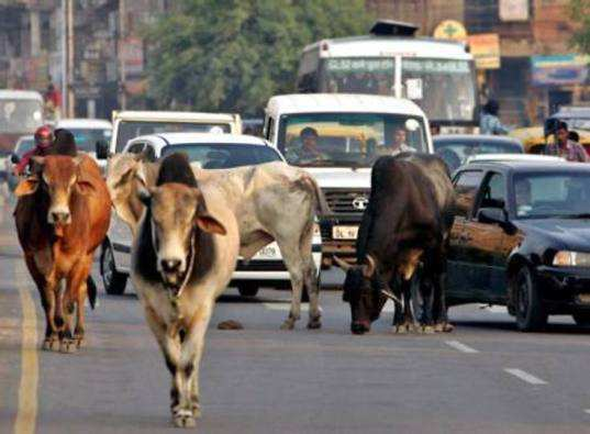 cows-on-indian-roads