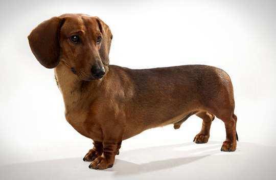 dachshund-standard