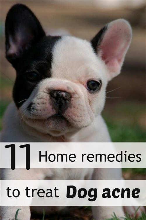 Dog Acne Home Remedies