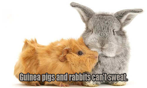 guinea-pig-and-rabbit