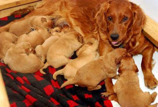 litter-of-puppies