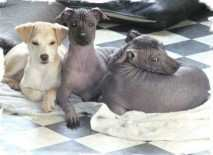 peruvian-hairless-dog-1