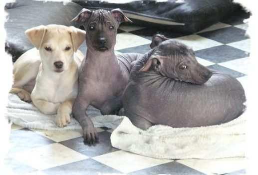 peruvian-hairless-dog-1