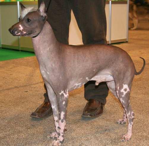 peruvian-hairless-dog-2
