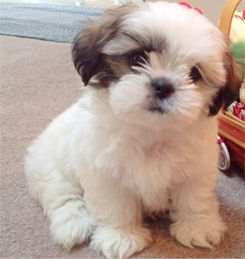 Small Fluffy Dog Mixed Breeds